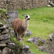 Alpaca at Machu Picchu — Stock Photo