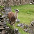 Royalty-Free Stock Photo: Alpaca at Machu Picchu