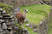 Alpaca at Machu Picchu — Stock Photo