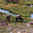 Aconcagua Mules - Stock Photo