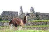 Alpaca at Machu Picchu, Peru — Stock Photo