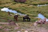 Aconcagua Mules — Stock Photo