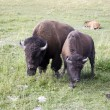 Stock Photo: Bison in Yellowstone National Park