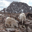 Alpine Mountain Goats — Stock Photo
