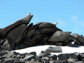 Alpine Mountain Goats — Stock Photo