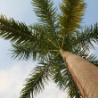 Caribbean Palm Tree — Stock Photo