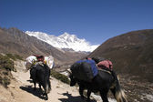 Himalayan Yaks - Nepal — Stock Photo