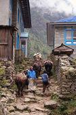 Himalayan Yak — Stock Photo