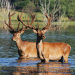 Stock Photo: Deer in water