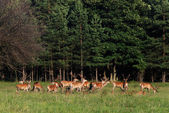 Deer — Stockfoto