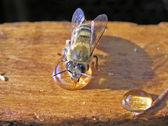 Bee and honey — Stock Photo