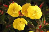 Herb - Oenothera biennis — Stock Photo