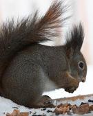 The squirrel has breakfast — Stock Photo