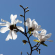 Stock Photo: Magnoliwhite