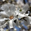 Magnolia white — Stock Photo