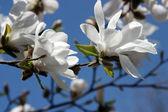 Magnolia white — Stock Photo
