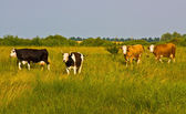 Cows come from pasture — Stock Photo