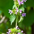 A dead-nettle is white (nettle is deaf) — Stock Photo