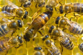 A bee uterus is the hostess of family — Stock Photo