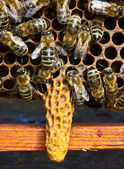 Cradle for the chapter of bee family — Stock Photo