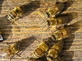 Young bees at work — Stock Photo