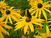 Rudbeckia hairy and the Butterfly — Stock Photo