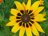 Family Rudbeckia hairy — Stock Photo