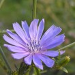 Stock Photo: Wild chicory (Cichorium intubus L.)