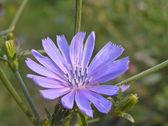 Wild chicory (Cichorium intubus L.) — Stock Photo