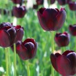 Stock Photo: Black tulips