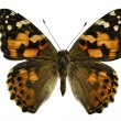 painted lady butterfly&quot — Stock Photo