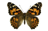 Painted Lady butterfly — Stock Photo