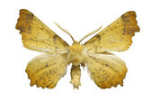 Yellow moth — Stock Photo
