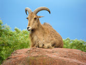 West caucasian tur goat — Stock Photo