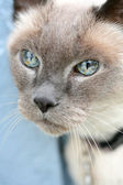 Blue Eyed Cat — Stock Photo