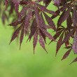 Stock Photo: Japanese Maple Corner, Green Background