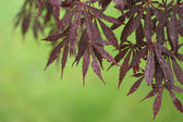 Japanese Maple Corner, Green Background — Stock Photo