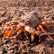 Crayfish 02 — Stock Photo