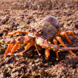 Royalty-Free Stock Photo: Crayfish 02