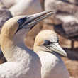 Gannet 05 — Stock Photo