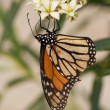 Stock Photo: Monarch Butterfly stages 04