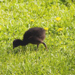 Pukeko Chick — Stock Photo
