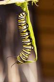 Farfalla monarca fasi 01 — Foto Stock