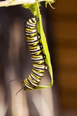 Monarch Butterfly stages 01 — Foto Stock