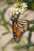 Monarch Butterfly stages 04 — Stock Photo