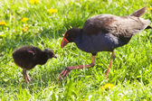 Pukeko and Chick 01 — Stock Photo