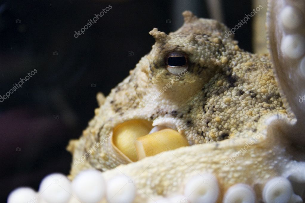 An octopus photographed at the National Aquarium of New Zealand  Stock Photo #3733557