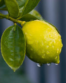 Dew on lemon 01 — Stock Photo