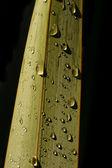 New Zealand Flax Leaf 02 — Stock Photo