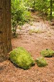 Forêt de séquoias 05 — Photo